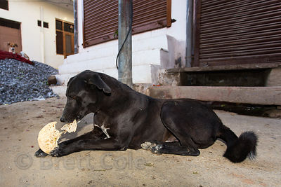 Street dog eating a chapati bread handout, Pushkar, Rajasthan, India