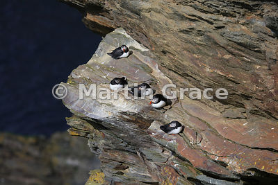 Five Atlantic Puffins rest on the cliffs of Hermaness National Nature Reserve, Unst, Shetland