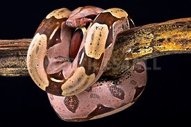 Boa constrictor (Boa constrictor constrictor) Suriname locality