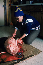 A local native of the Eskimo village in Little Diomede, skinning and gutting a seal. This is hunter-gathering territory- a ph...