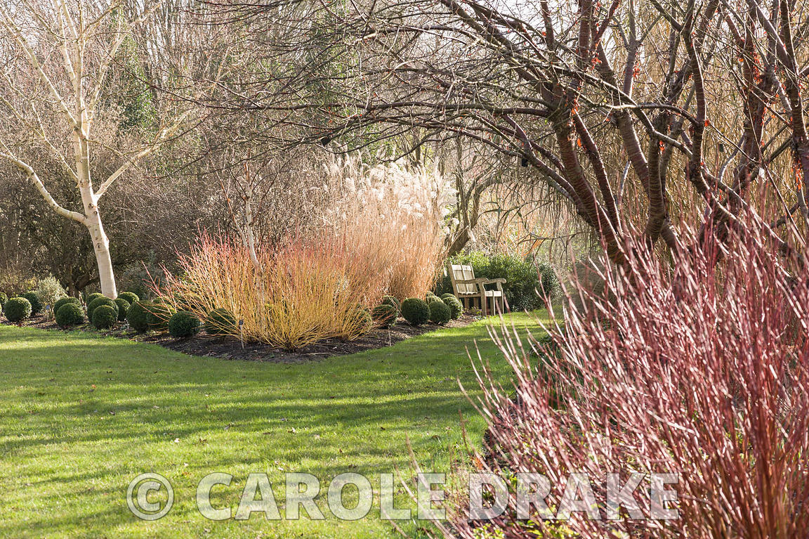 Cornus sanguinea 'Midwinter Fire' with clipped box spheres. Sir Harold Hillier Gardens, Ampfield, Romsey, Hants, UK