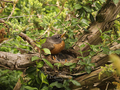 Robin feeding chicks 4938