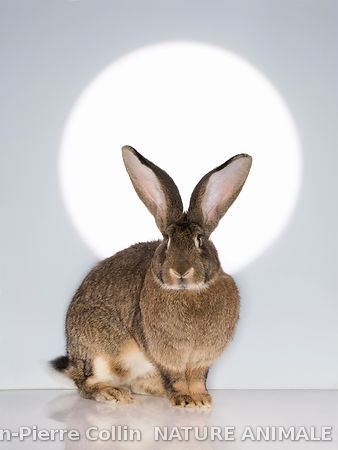 Photo d'un lapin Géant des Flandres