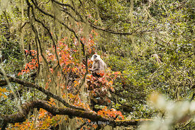 Tarai gray langur on a tree near The Tiger's Nest in upper Paro valley, Bhutan.