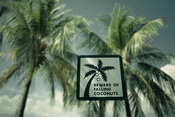Palm trees: beware of falling coconuts