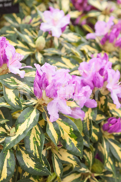 Rhododendron 'Molten Gold', rhododendron, bicolore