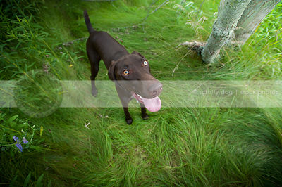 brown german shorthaired pointer looking upward from grasses