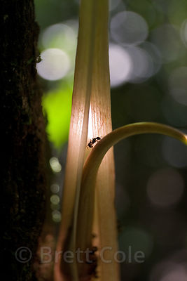Ants on a large rainforest plant, Tambopata River, Peruvian Amazon