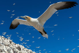 Gannet on Bass Rock
