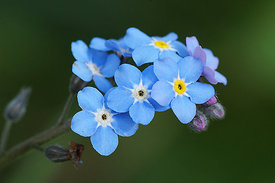 Myosotis species
