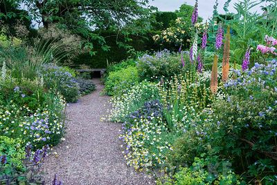 Herbaceous borders at Cothay Manor, Somerset, containing repeated clumps of purple sage, Anthemis punctata sp cupaniana, Sisy...