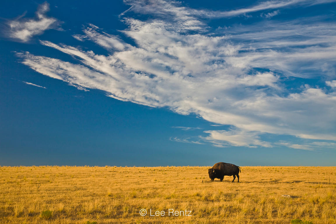 American Bison (Bison bison) grazing on a golden prairie, Antelope Island State Park in the Great Salt Lake, Utah, USA, Augus...