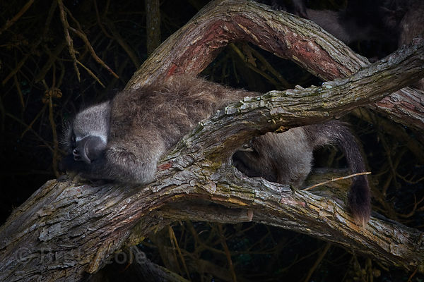 The alpha male chacma baboon from the Buffels Bay troop (named Elvis) wakes up for the day in a Monterey Cypress tree at the ...