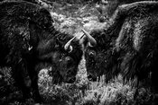 2639-Bisons_du_Yellowstone_Wyoming_2014_Laurent_Baheux