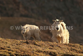 mountain_goat_nanny_and_kid_posture