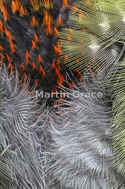 Close-up of plumage of juvenile Green Woodpecker (Picus viridis)