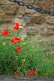 Florence Poppies
