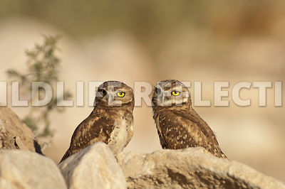 burrowing_owl_fledgemates