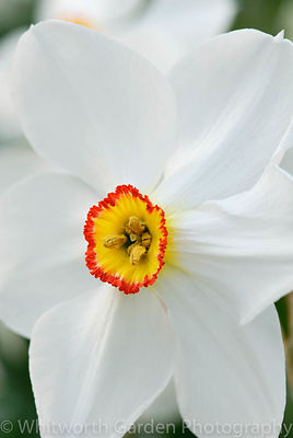 Narcissus 'Actaea'. © Rob Whitworth