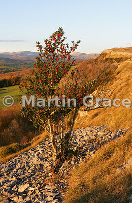 Holly tree (Ilex aquifolium) with berries, Scout Scar, Lake District National Park, Cumbria, England