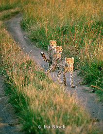 Three young cheetahs on the road, Kenya, Africa