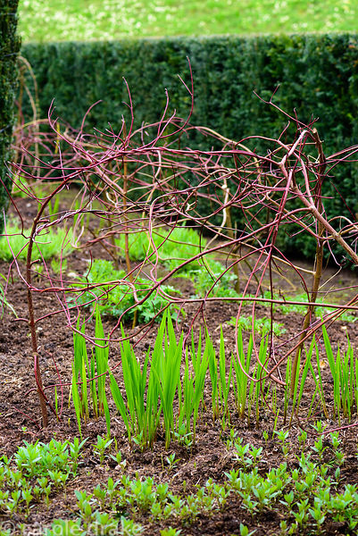 New crocosmia shoots emerging below a framework of cornus stems that will support the plant as it grows in the Hot Border at ...
