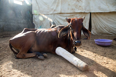 Cow with leg injuries recovering at the Tree of Life for Animals rescue center (tolfa.org.uk) near Pushkar, Rajasthan, India