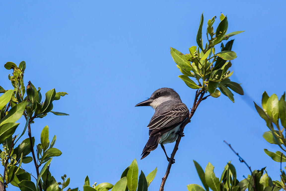 Gray Kingbird at Fort Jefferson in Dry Tortugas National Park