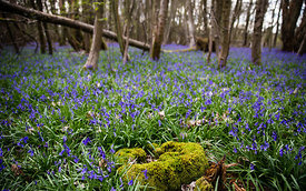 Bluebell_2016_April_018