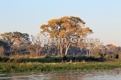 Spectacular yellow blossom of Vochysia divergens tree in early morning sunlight, River Cuiabá, Mato Grosso, Brazil