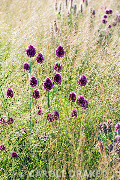 Allium sphaerocephalon in a bed of low grasses. Bury Court Barn, Bentley, Hants, UK