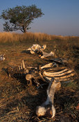 Remains of a poached elephant, Kafue National Park, Zambia