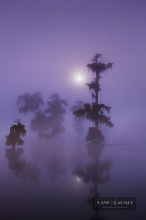 Bald cypress forest (taxodium distichum) with full moon in fog - North America, USA, Louisiana, St. Martin, Lake Martin - dig...