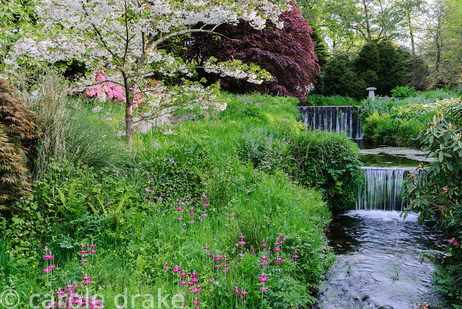 Prunus 'Shogetsu'  beside the Addicombe Brook, surrounded by flower filled grass including magenta Primula pulverulenta, red ...