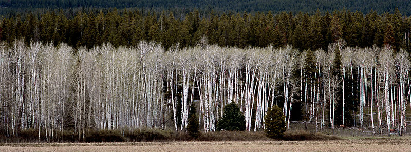Panoramic_W112002_Birch_Trees_and_Mountains_Preview