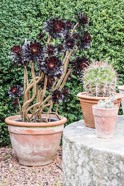 Pots of succulent plants including Aeonium arboreum 'Schwarzkopf' surround a millstone table at the end of the swimming pool ...