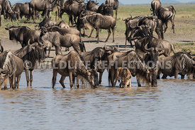 wildebeest_lake_crossing_sequence_02242015-9