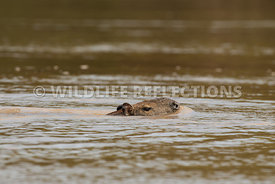 capybara_swimming-2