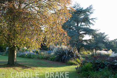 Beech tree colouring orange beside the herbaceous and grasses garden. Exbury Gardens, Exbury, Hants, UK
