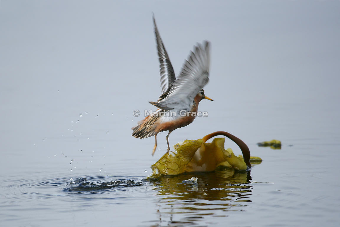 Female Grey Phalarope (Red Phalarope) (Phalaropus fulicarius) taking off from the surface of water, with floating kelp