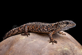 Roughneck alligator lizard (Barisia rudicollis)