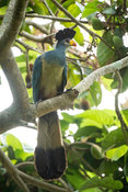 Great blue turaco, Corythaeola cristata, Entebbe, Uganda