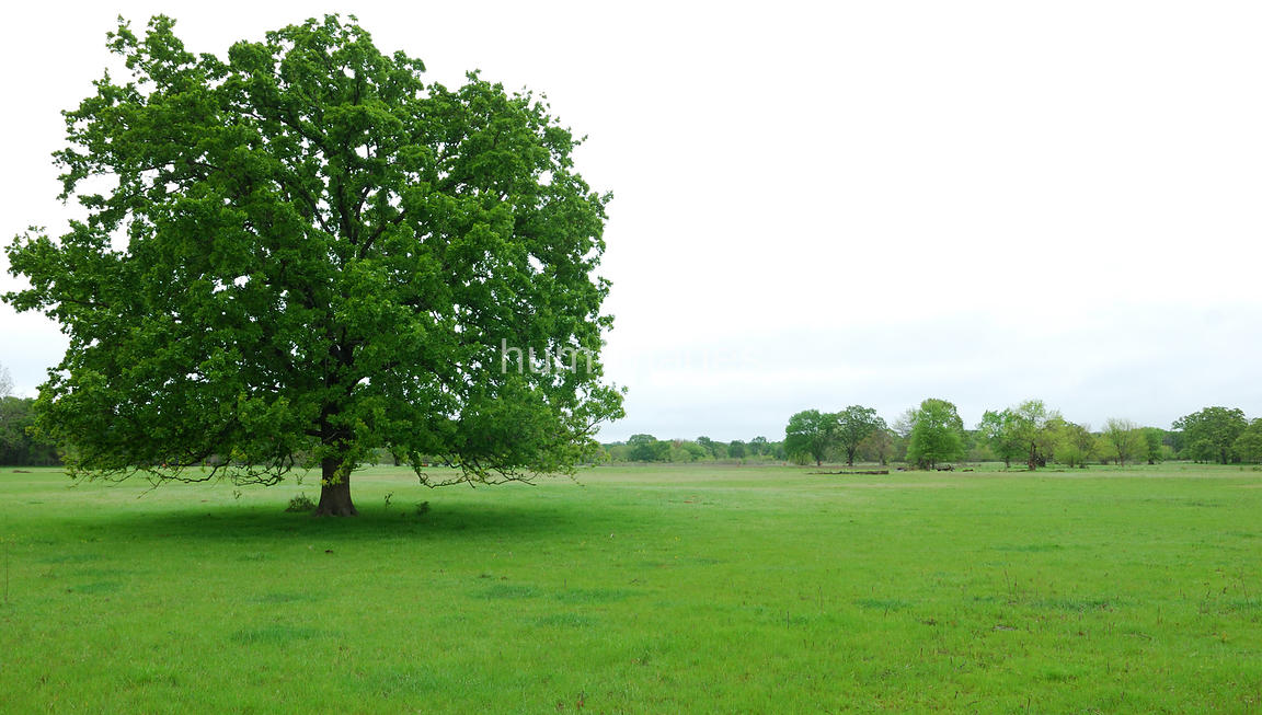 Large tree in green field (left side of image)