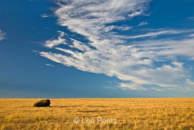American Bison (Bison bison) resting on a golden prairie, Antelope Island State Park in the Great Salt Lake, Utah, USA, Augus...