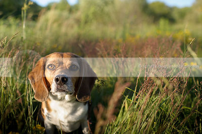 portrait of beagle dog staring from meadow grass in sunshine