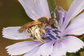 Halictus scabiosae female, collecting pollen from Cichorium intybus , Rousson, Rousson