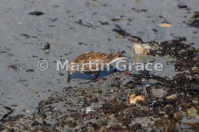 Dunlin (Calidris alpina) on the beach at Bigton Wick, Mainland South, Shetland