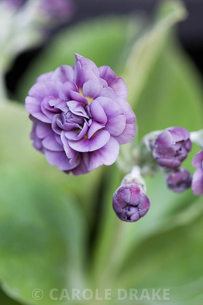 Auricula 'Sibsey'. Summerdale House, Lupton, Cumbria, UK