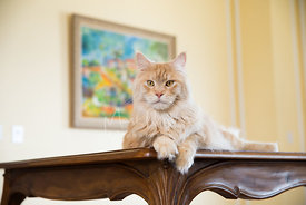 Red Silver Tabby Maine Coon Cat Lying on Table with head raised