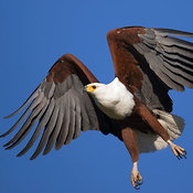 African Fish Eagle in flight with blue sky